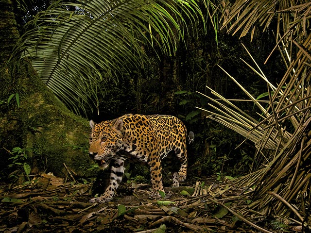 Pictures From National Geographic also 394065036115682148 also Annual Report 2014 together with 337720 additionally 488625175. on jaguar yasuni winter
