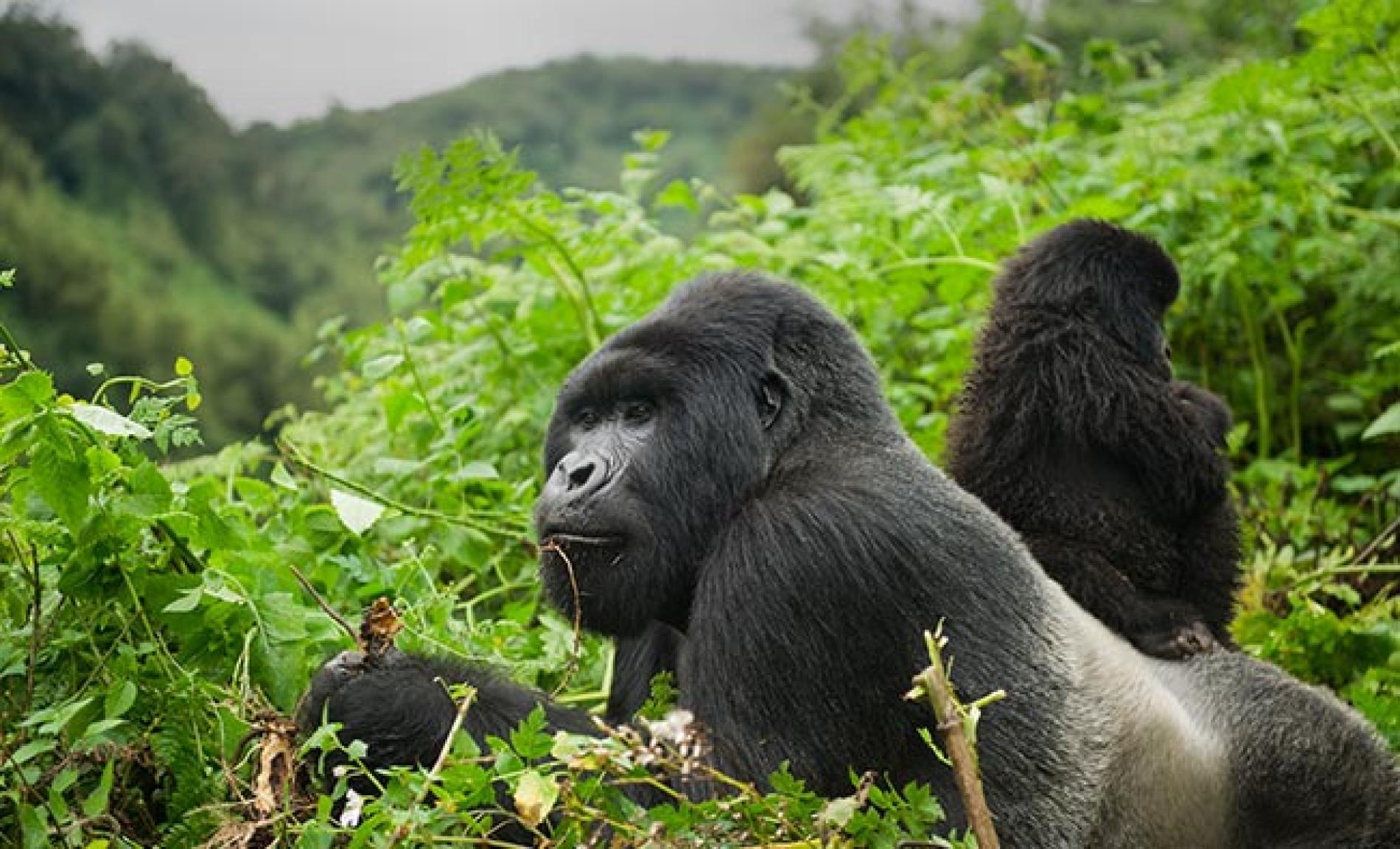 Rwanda & Uganda: Mountain Gorilla Safari Tours   National ...