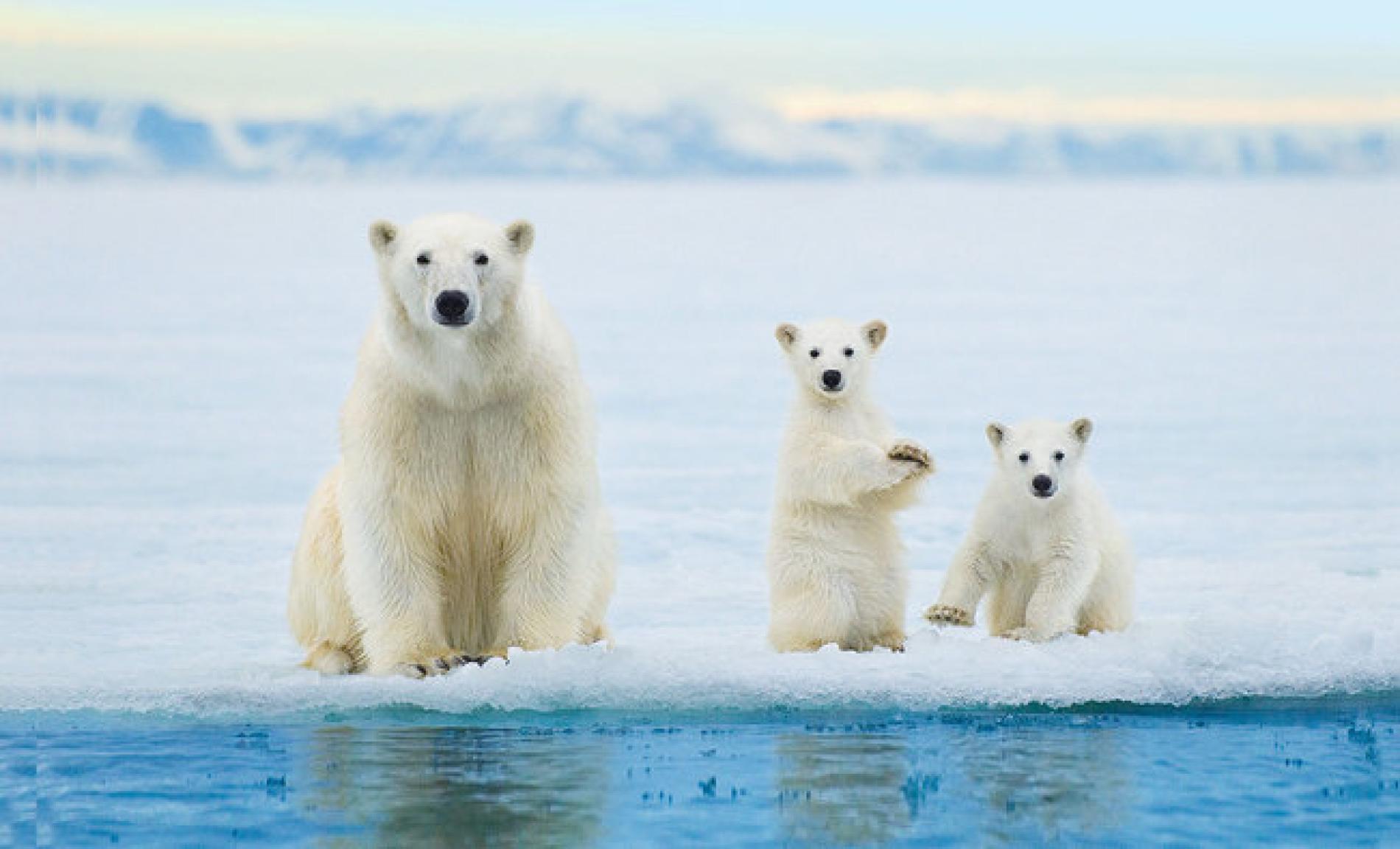 Polar Bear 42 D 25 Polar Bear Crui...