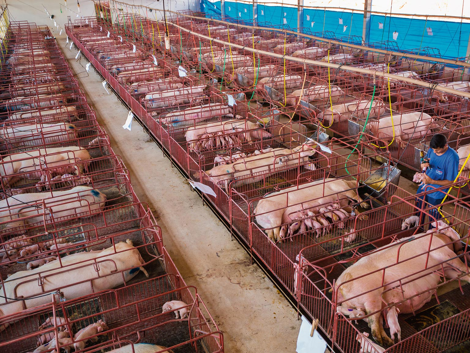 Feeding 9 Billion National Geographic Chicken Wing Diagram Images Pictures Becuo Picture Of The Nutribras Pig Farm In Mato Grosso Brazil With Sows Confined To