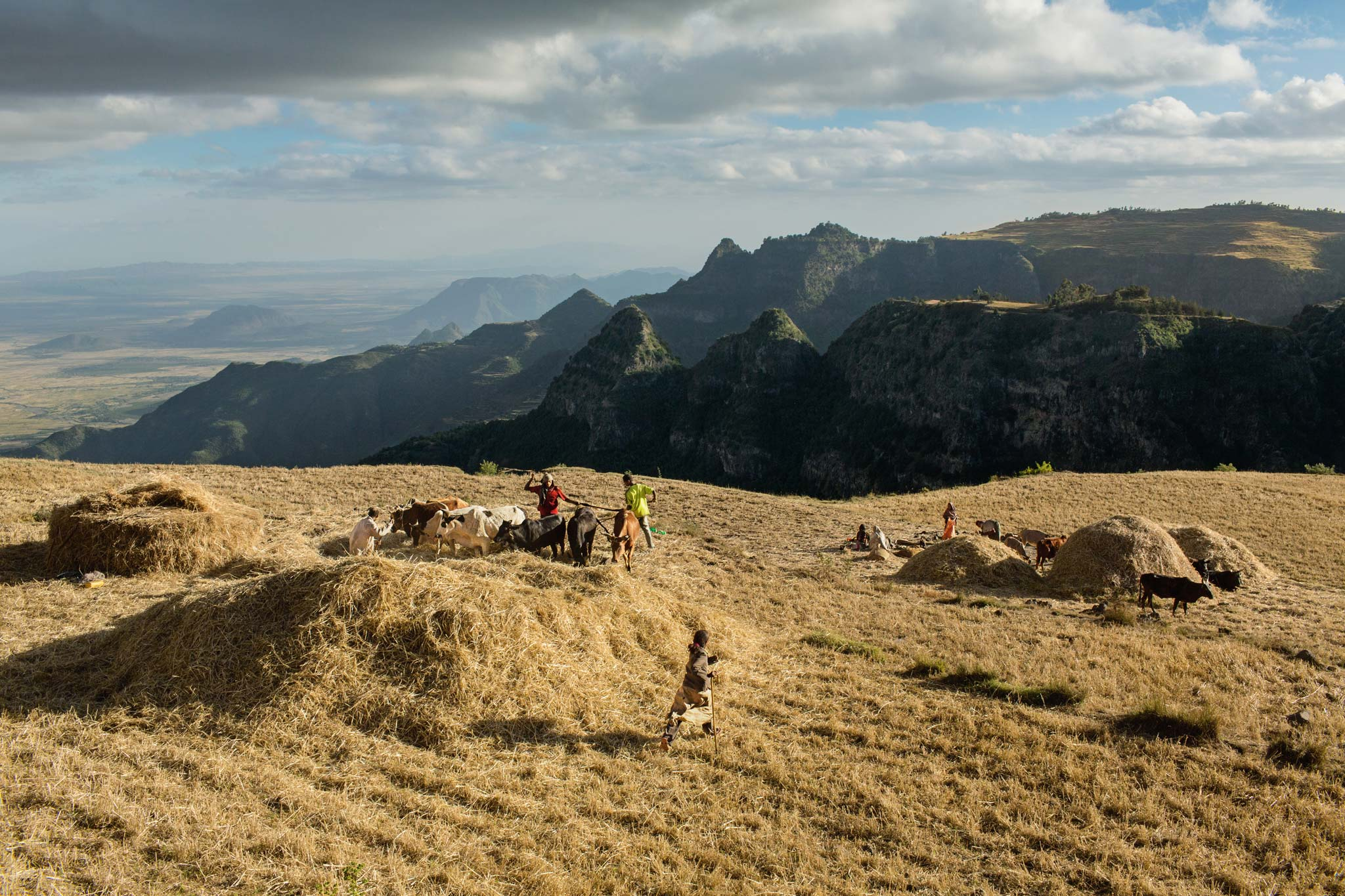 Picture of a wheat harvest in Ethiopia