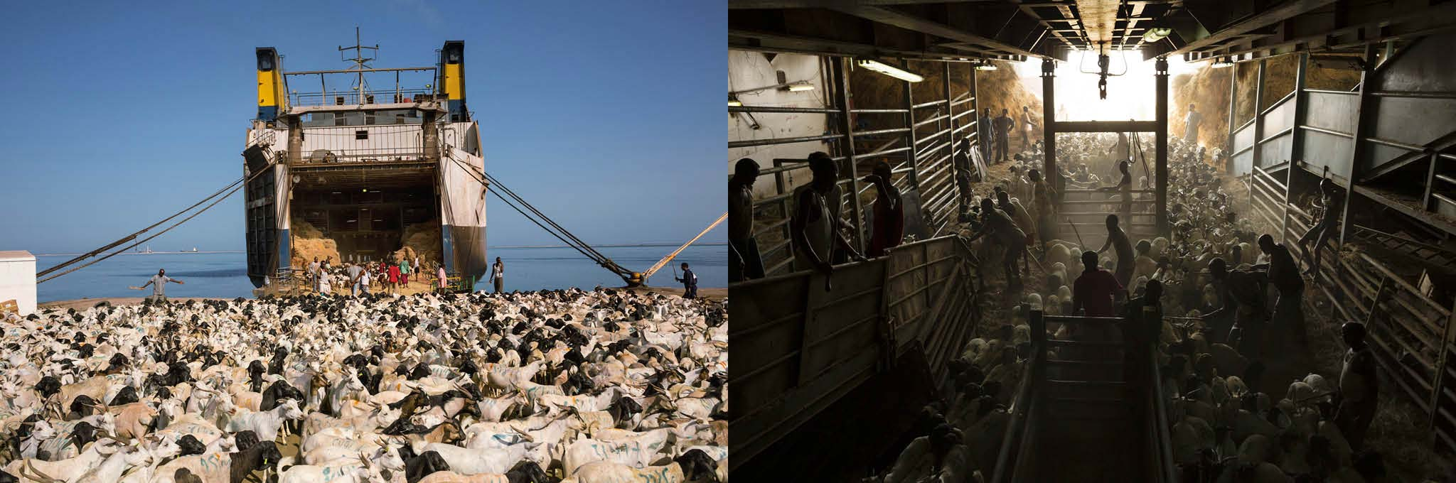 Picture of sheep being herded onto a ship in Somaliland
