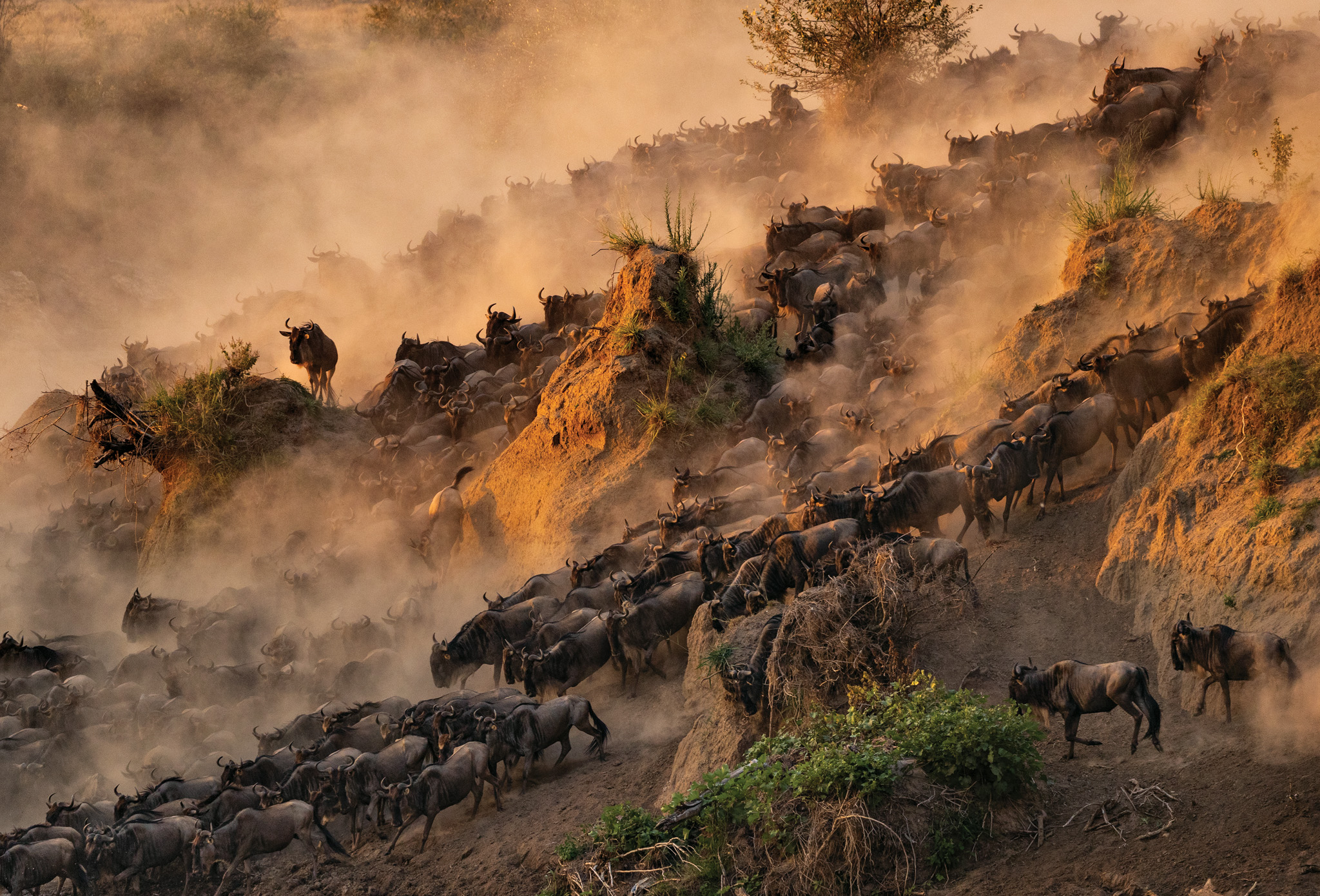 Picture of a stampede of wildebeests through a dusty hillside