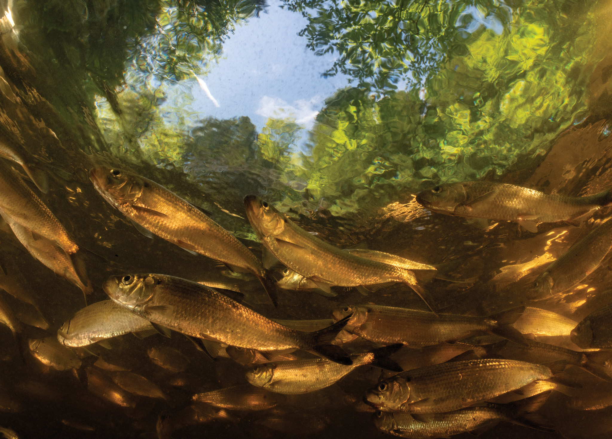 Picture of a group of alewives in a brook