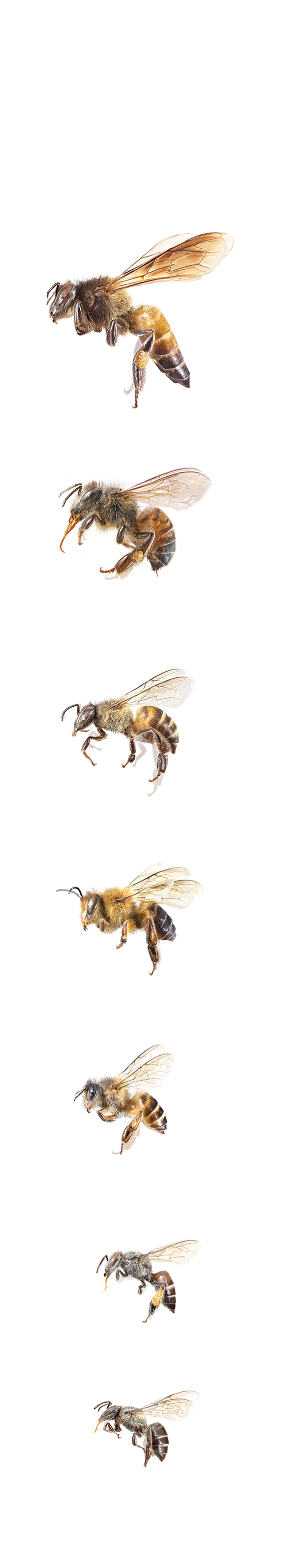 This honey hunter of nepal climbs to great heights for these bees honeymakers biocorpaavc
