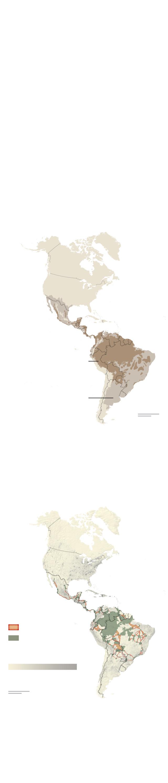 Jaguars, predator and spiritual symbol of ayahuasca drug