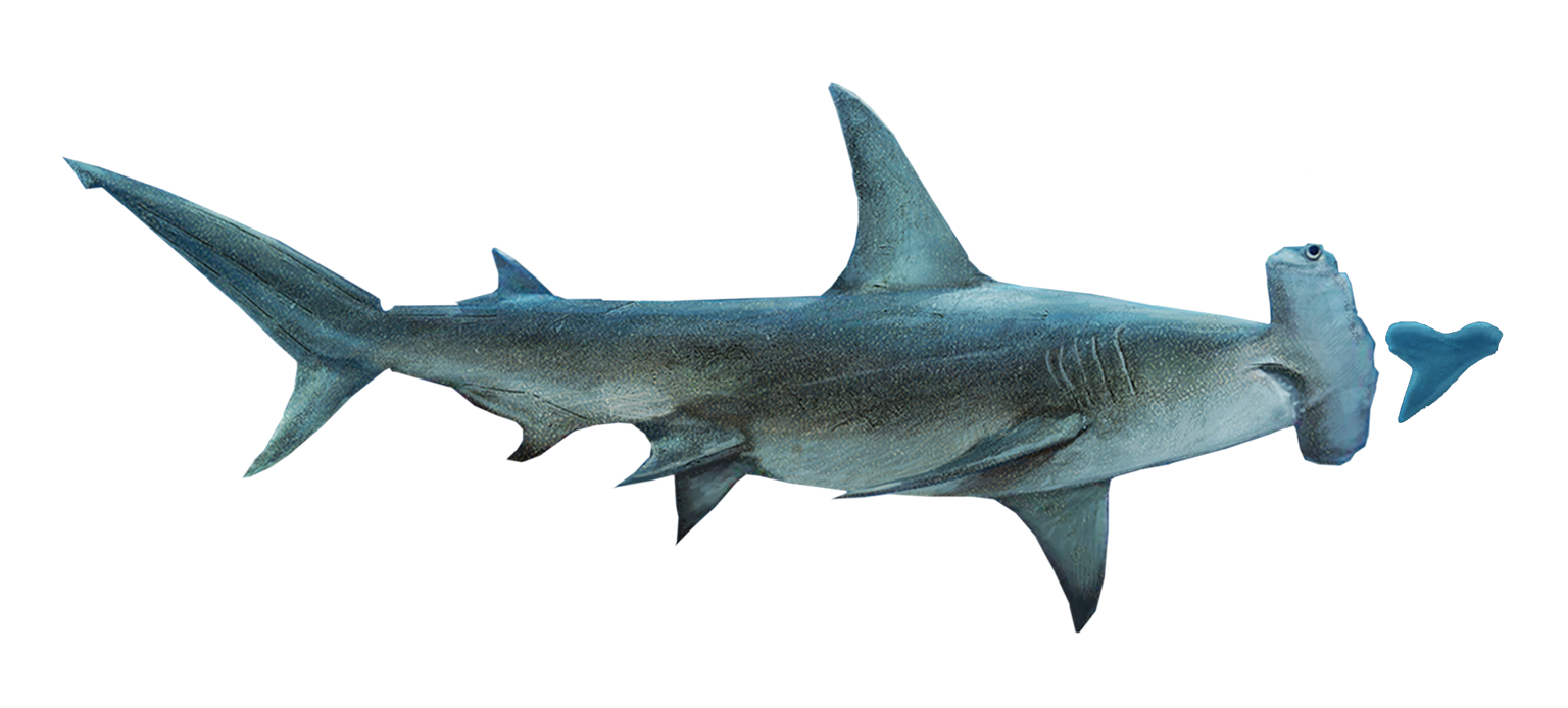 10 largest extant shark species?